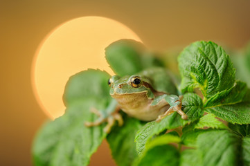 European tree frog between green leaves with sun in background