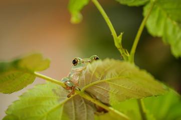 Hidden frog on stem of raspberry
