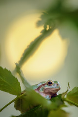 Green frog between stem and leaves with sun in background