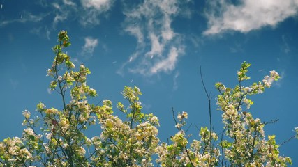 Wall Mural - Flowering  blooming apple tree blossom petals blown away by wind against blue sky background. Slow motion, 4k UHD