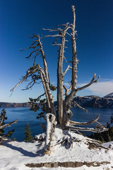 Dead tree at Crater Lake National Park, OR.