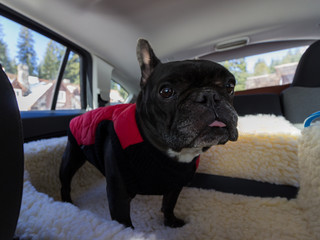 Abbey the French Bulldog in Her car seat.