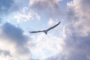 flying Seagull on blue sky background with clouds
