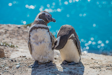 Magellanic penguins guarding their nest, peninsula Valdes, Patagonia
