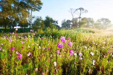 The Kelsang flowers bloom luxuriantly sunrise.