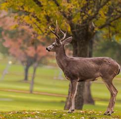 Deer on a Golf Course on an Autumn Day