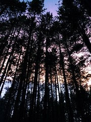 Vivid dusk through trees in the forest