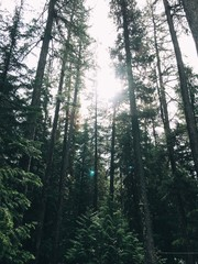 Sun shining through pine trees in the forest