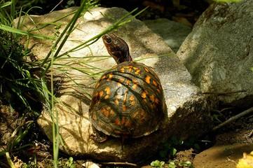 Box turtle in backyard garden
