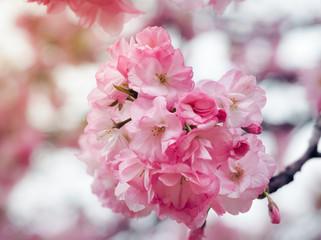 Beautiful Pink Sakura full blooming at the season, Osaka, Japan