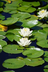 White water lilies on a sunny pond