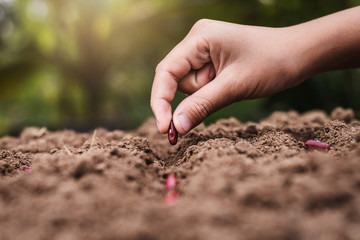 agriculture hand planting seeds red beans in soil