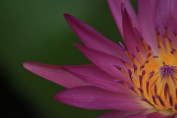 macro photography of the stamens of water lily, hardy blue water lily