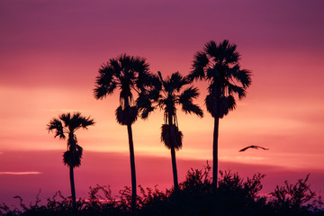 silhouette of sugar Palm tree with sunset