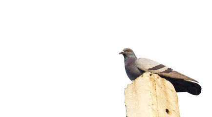 Dove separated from the background white Clipping path