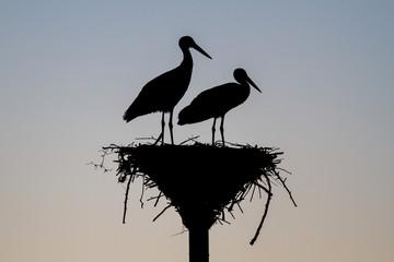 Silueta al atardecer de cigüeñas blancas en el nido. Ciconia ciconia.