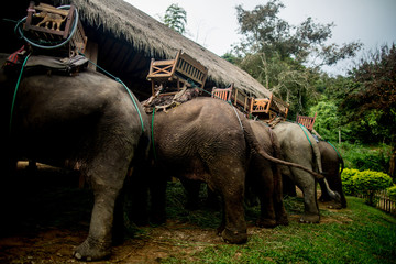 Elephants at the Elephant Sanctuary are fed and prepped in the early morning before tourists arrive.