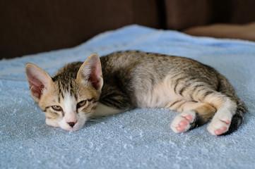 One Kitten sleep alone on blue towel and sofa