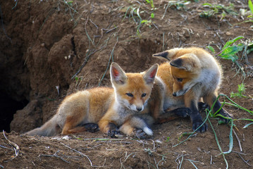 Two young red Fox playing near his hole