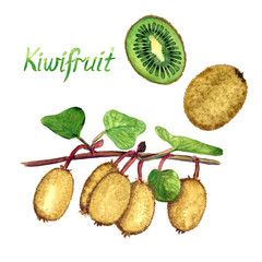 Kiwifruit branches with ripe fruits, cut half and whole fruit with inscription, hand painted watercolor illustration