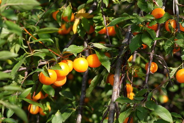 Shiny fresh orange mirabelle plums fruit on tree branch in summer time. Fruits and vitamins