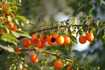 Sluggish orange mirabelle fruit plums fruit on tree branch in summer time. Fruits and vitamins