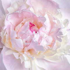 Close up of pale pink peony flower. Macro photo with shallow depth of field and soft focus. Natural background.