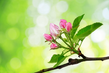 Spring blossoms apple tree branch with leaves on green nature background.
