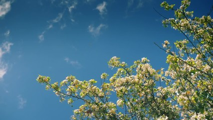 Wall Mural - Flowering blooming blossom flowers petals blown away by wind from apple tree branches against blue sky background. Slow motion, 4k UHD