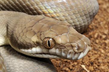Rautenpython (Morelia spilota) - carpet python
