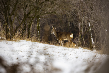 deers at the edge of the forest in winter