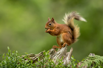 Photo sur Aluminium Squirrel Red squirrel perched on a tree stump eating a hazelnut with a green bcakground.