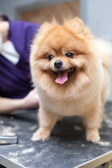 Grooming Pomeranian dog by professional groomer, hairdresser, dog haircut