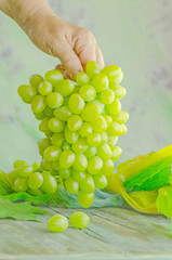 Farmer shows a heap of harvested white grapes