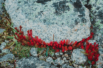 Red moss, the succulents on the mountain rocks