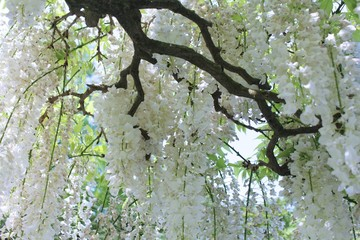 BLOOMING WHITE LILAC TREE