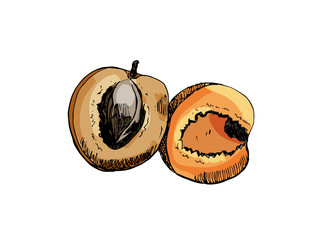 Hand drawn colorful sketch sliced apricot on white background. Vector illustration