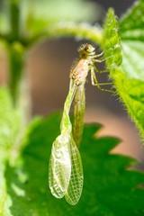Hufeisen-Azurjungfer (Coenagrion puella) direkt nach dem Schlüpfen mit zerknitterten Flügeln und sichtbarer Hämolymphe (Insektenblut), Lüneburger Heide, Niedersachsen, Deutschland, Europa