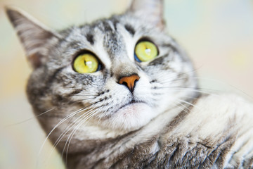 The beautiful gray fluffy cat of tabby looks around herself