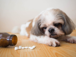 Sick dog - White medicine pills spilling out of bottle on wooden floor with blurred cute Shih tzu dog background. Pet health care, veterinary drugs and treatments concept. Selective focus.