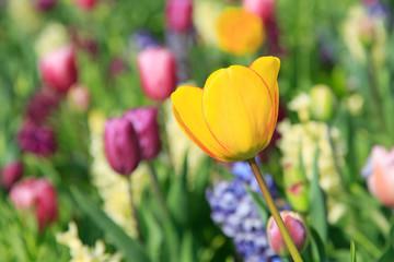 Blühende Tulpe auf Blumenwiese im Frühling