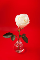 White rose in a glass vase on a red background