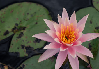 Delicate pink waterlily floating in a pond