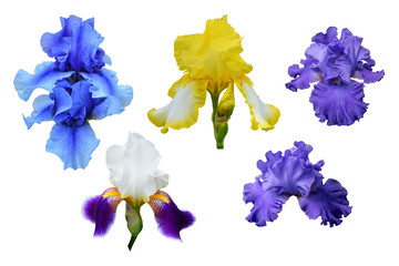 Blue, yellow and violet flowers of iris. Isolated, white background.