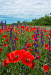 A beautiful field of flowering poppies. red flowers, motley grass. landscape