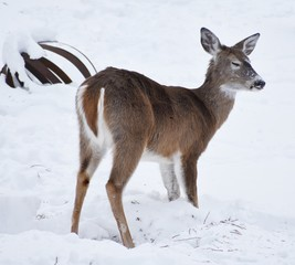 Whitetail deer with snow on it's face and tongue sticking out