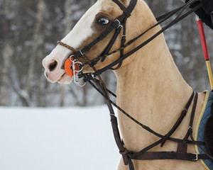 Polo pony with bridle on horse polo on snow winter background