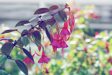 beautiful fuschia flower in nature