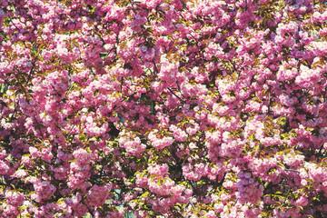 Blossoming sakura garden.