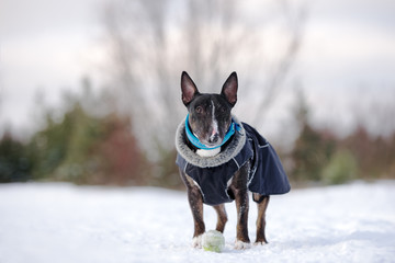 english bull terrier dog outdoors in winter